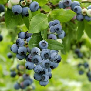 ふぞろいのブルーベリーたち 冷凍600g(300g×2袋)酸味と甘みのバランスがとてもいいふぞろいのブルーベリーたち(糖度10~18度)