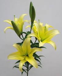 6月17日~7月17日季節限定!華やかさを贈るユリの5本の花束!送料無料!新鮮で長持ち、豪華でボリュームたっぷりなユリの花束は冠婚葬祭、さまざまなシーンでお使いいただける人気のお花です。